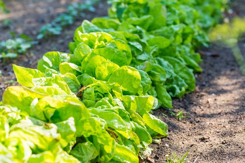 Young lettuce leaves growing in garden